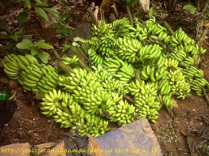 Gambar pisang lampung masih mentah dan nama lain pisang lampung