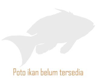 Colcibolca Tetra, Astyanax Nasutus (Meek, 1907)