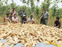 Hutan KPH Cepu Hasilkan Jagung Berlimpah