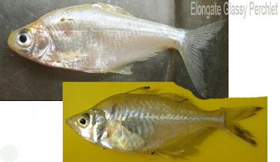 Elongate glassy perchlet fish,