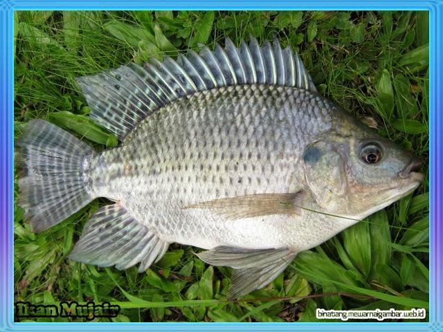 gambar ikan mujair