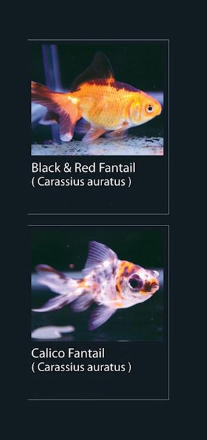 35. Black & Red Fantail Nama Latin Carassius Auratus   36. Calico Fantail  Nama Latin Carassius Auratus