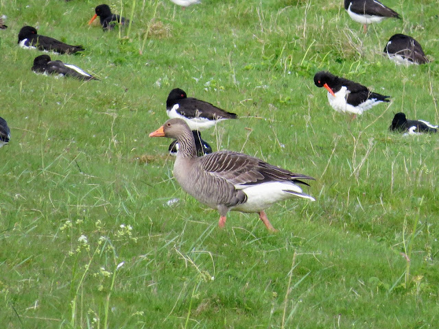 Geese and oystercatchers spotted on a hike through Bakkatjörn Nature Reserve in Reykjavik Iceland