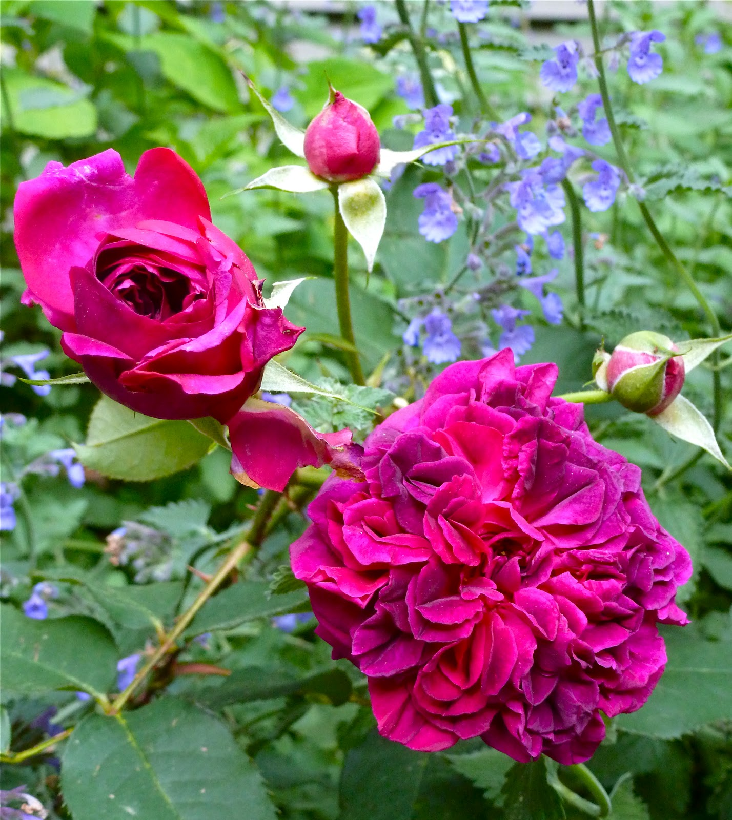 Don T Work Up A Sweat Over Fall Rose Care The Dirt Diaries