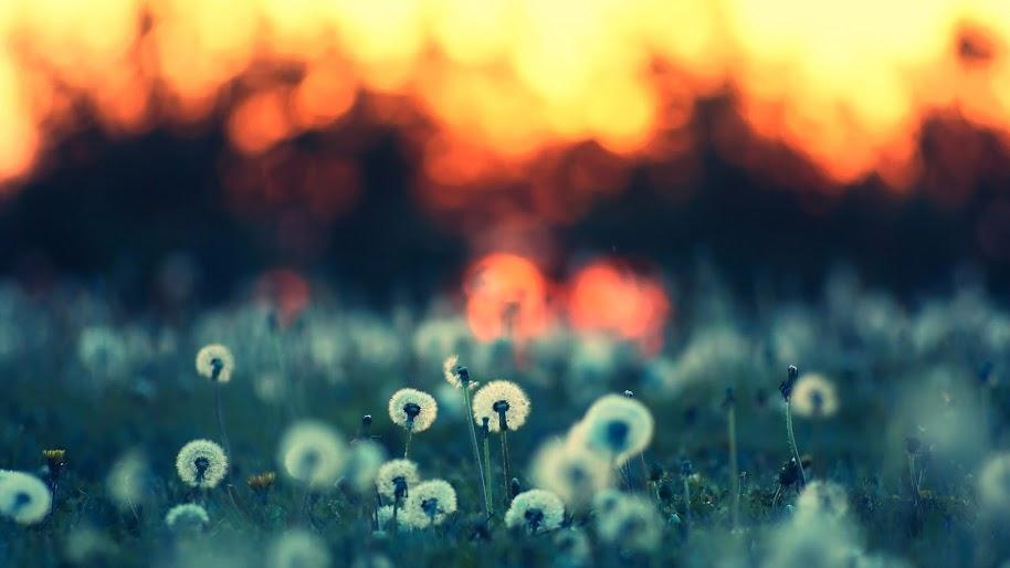 Dandelion Flower Nature 4k 3840x2160 Wallpaper 95