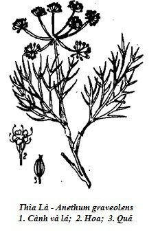 Hình vẽ Thìa Là (Thì Là) - Anethum graveolens - Nguyên liệu làm thuốc Chữa Bệnh Tiêu Hóa