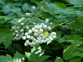 Actaea rubra subsp. arguta f. neglecta