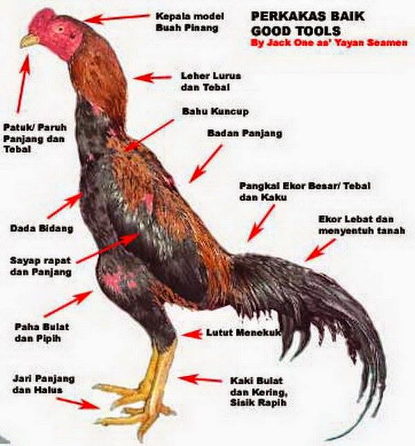 Usaha Rumahan Ternak Ayam Bangkok Untuk Sampingan
