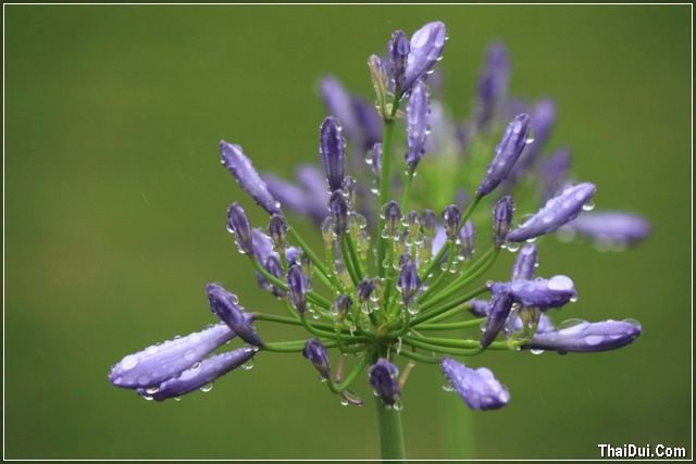 ảnh hoa tím và mưa