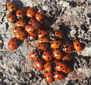 http://www.biodiversidadvirtual.org/insectarium/Bombus-rupestris-cat26225.html