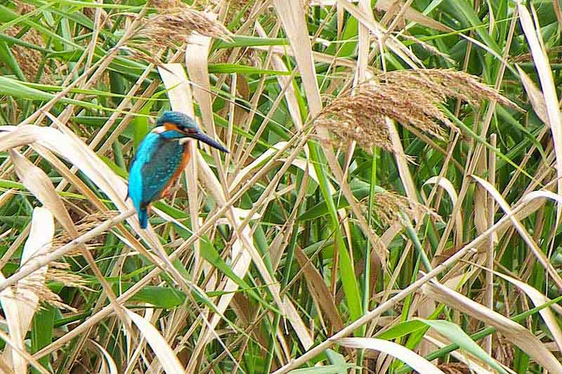 Bird, Kingfisher, Okinawa