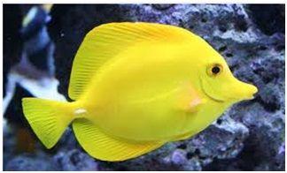 Jenis Ikan Laut Hias Aquarium Tangs