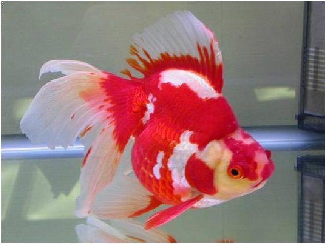 Gambar Ikan Hias Cantik – Ikan Mas Koki
