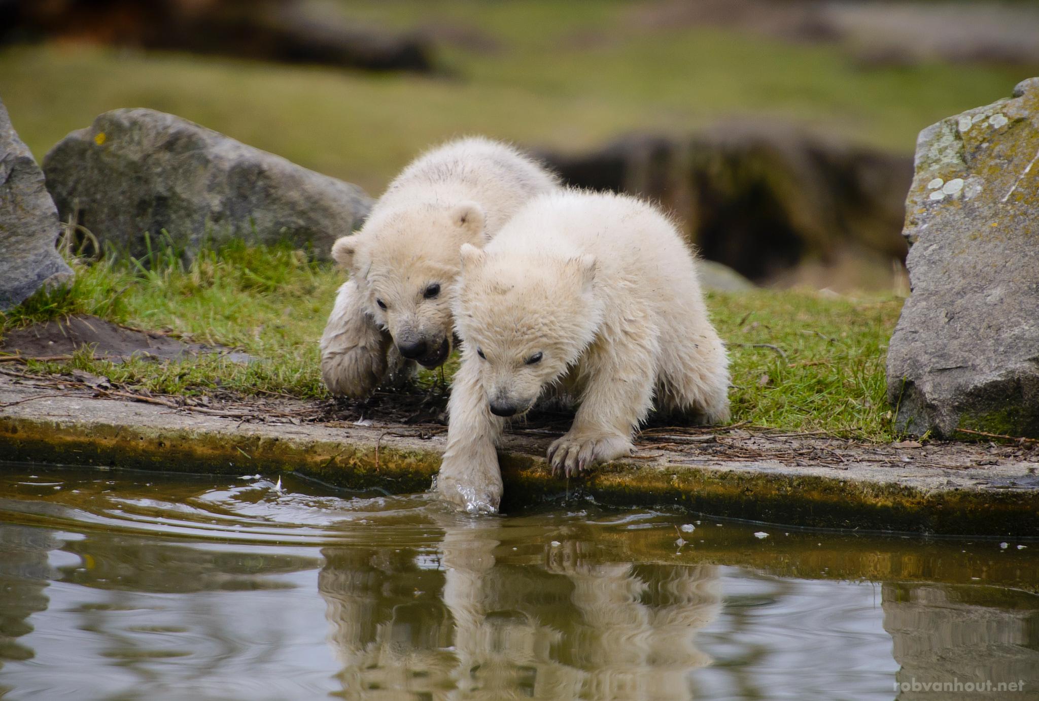 Polar Bear Cubs — Dierenrijk Zoo