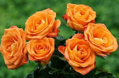 Bunga Mawar Warna Oranye