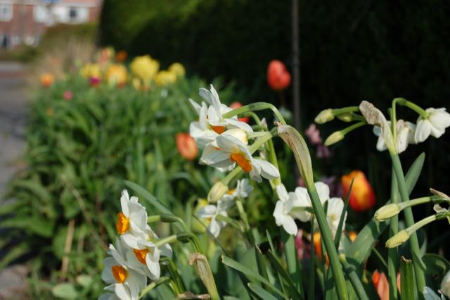 spring garden narcissus and tulips