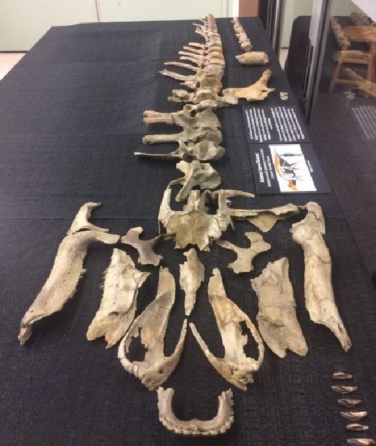 Fossil of duck-billed dinosaur found along Alabama creek