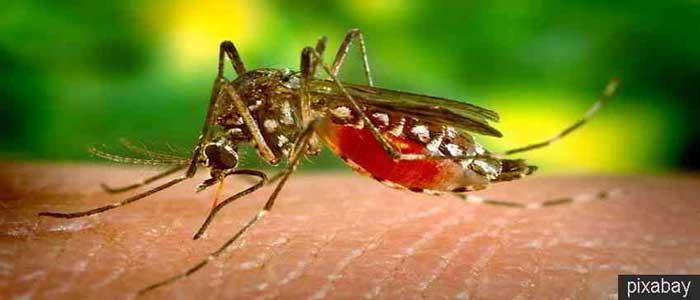 Bahaya Nyamuk Untuk Kesehatan Tubuh