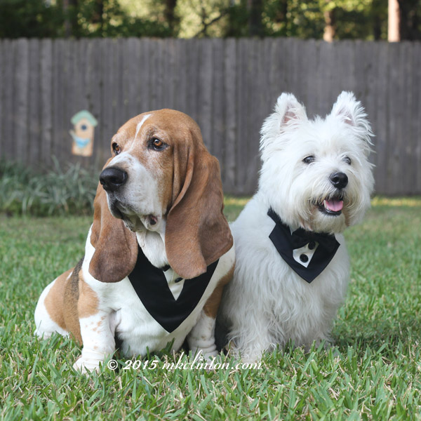 Bentley Basset Hound and Pierre Westie in their tuxedos
