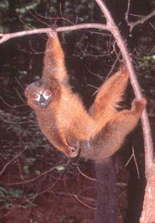 Lemur de vientre rojo