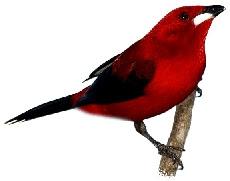 Tié-Sangue (Ramphocelus bresilius)