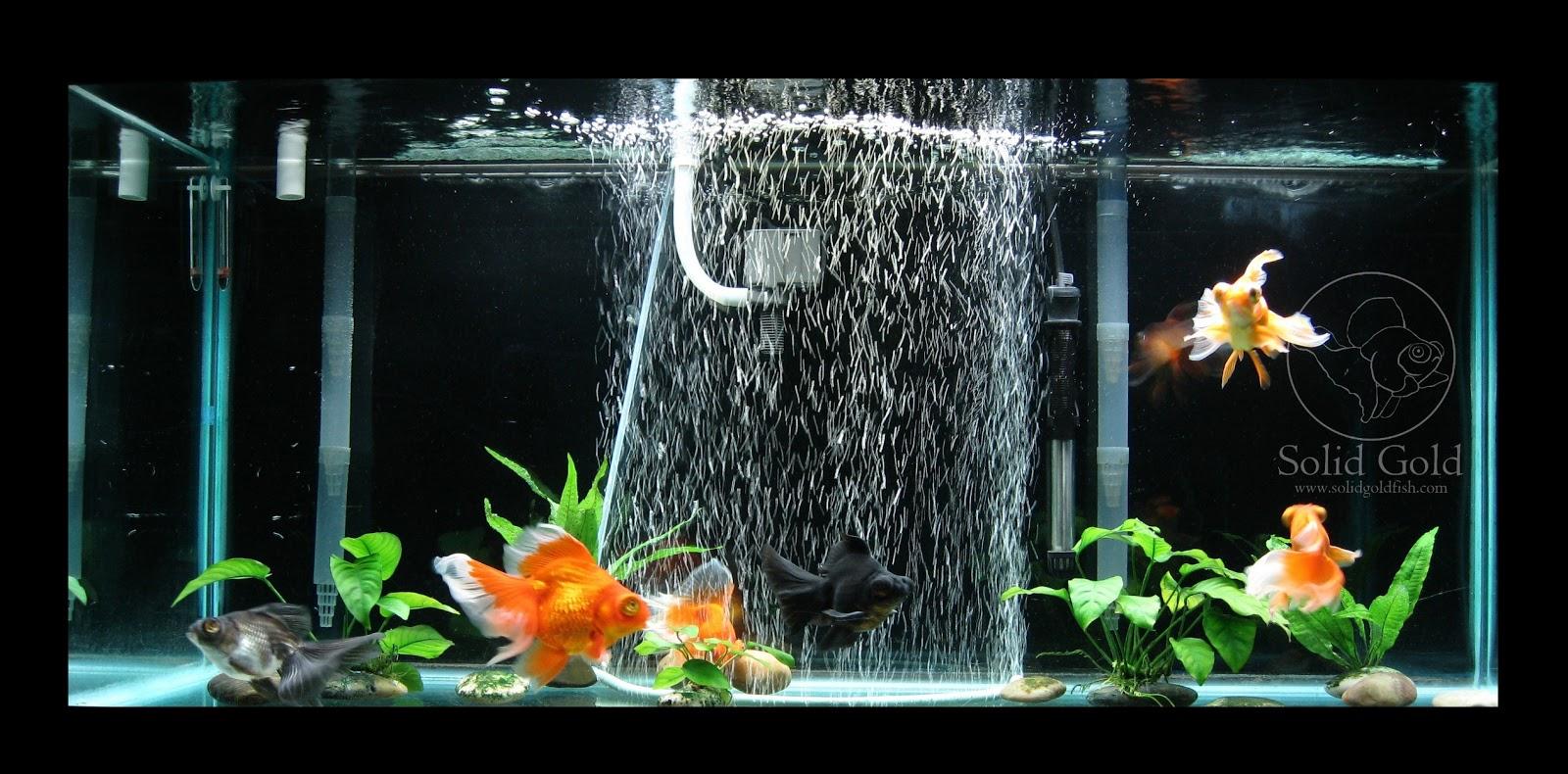 75 gallon aquarium goldfish 75 gallon goldfish aquarium for Fancy fish tanks