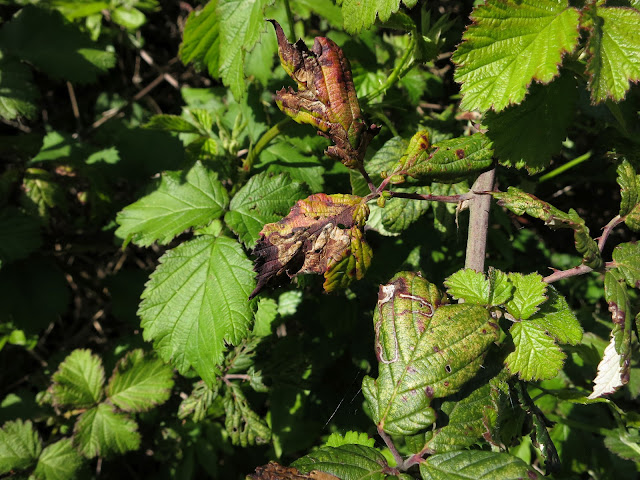One of last year's blackberry leaves.