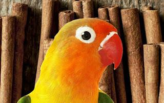 Manfaat Kayu Manis untuk Burung Lovebird yang Perlu Dulor Ketahui