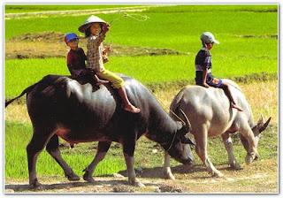 Bài văn tả con trâu ở làng quê Việt Nam