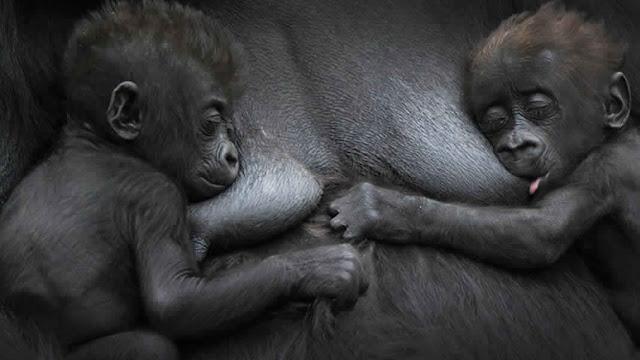 صغار الحيوانات : صغير القرد