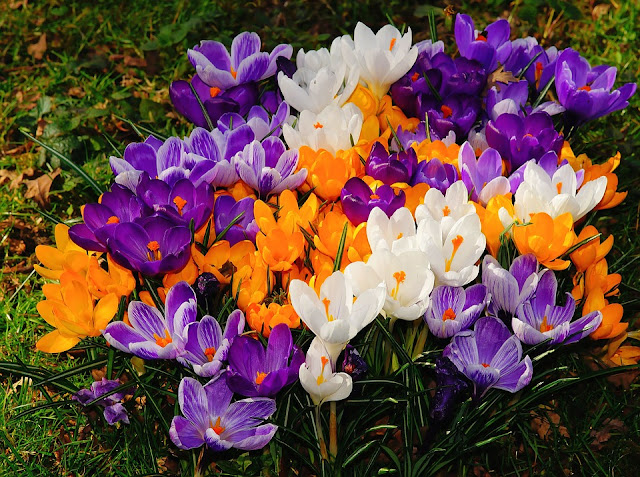 How to plant and grow Crocus bulbs