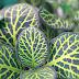 Fitonia - uma planta em vasos com lindas folhas.