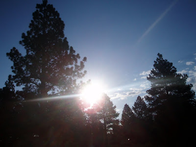 Beautiful pine trees with the suns rays streaming through