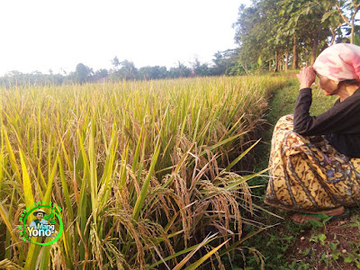 FOTO 1 : Padi SERTANI 1 MODIF ditanam di ladang / kebun.   Lokasi Subang - Jawa Barat