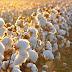 Berenice de algodão