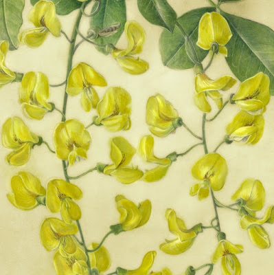 Watercolour painting of yellow laburnum flowers on natural calf vellum by Shevaun Doherty