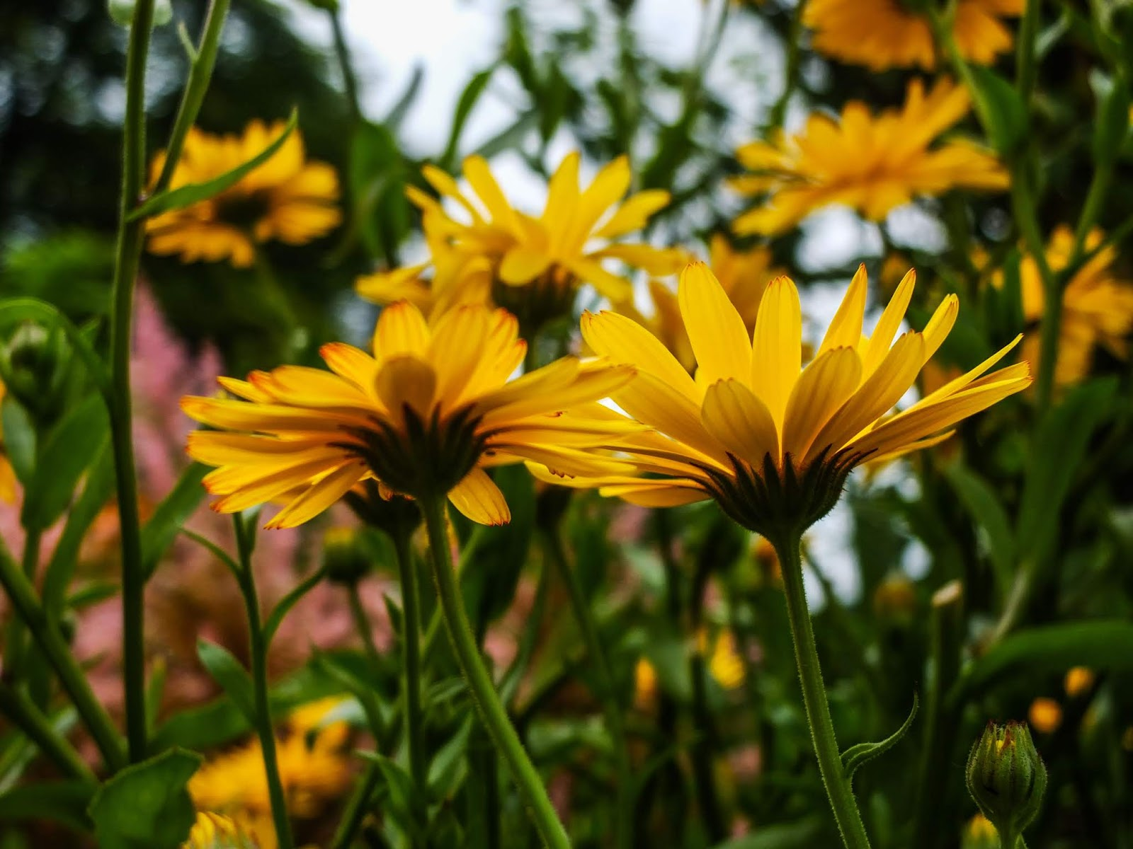 Yellow English Marigolds from the ground up.