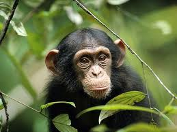 chimpanzees pets cute and docile