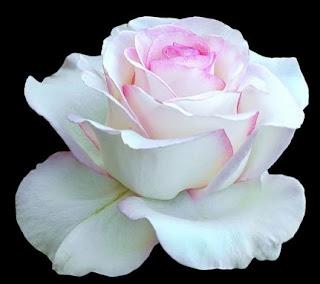 gambar bunga mawar indah 12