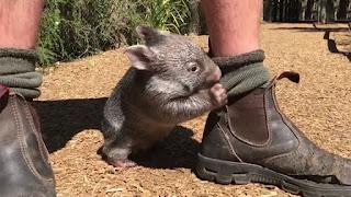 binatang wombat lucu berpikir dirinya adalah anjing