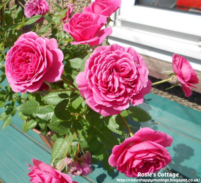 Miniature Roses In Bloom Outside In The Garden