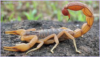 contoh hewan yang melakukan penyesuaian tingkah laku dengan cara mempunyai sengatan di ekornya yaitu kalajenging