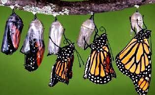 Imagen del desarrollo de la mariposa a colores