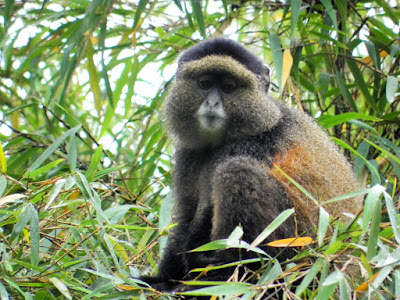 4 days Rwanda luxury gorilla tour golden monkeys,  rwanda gorilla golden monkeys treks, 4 days gorilla tour rwanda, luxury safari rwanda,primates tour rwanda cheap Gorilla trek Rwanda,mid-price Rwanda gorilla tour, gorilla safari, budget tour rwanda, Rwanda, rwanda tour operator, rwanda tour company, gorilla tour agent, gorilla,