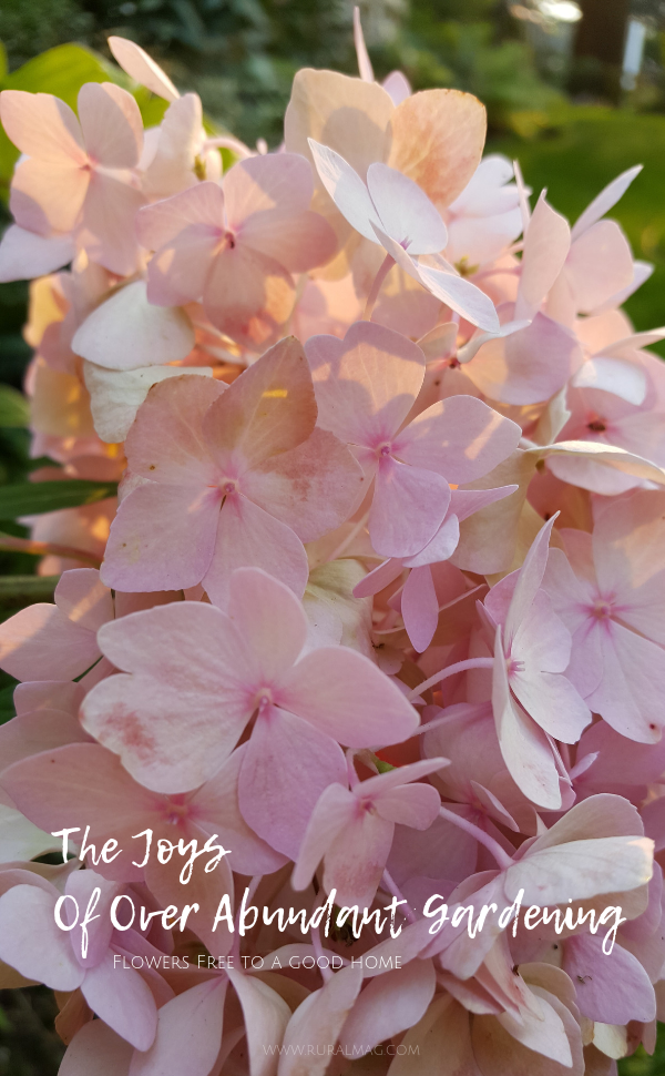 Pink Hydrangea Blossom from Rural Magazine