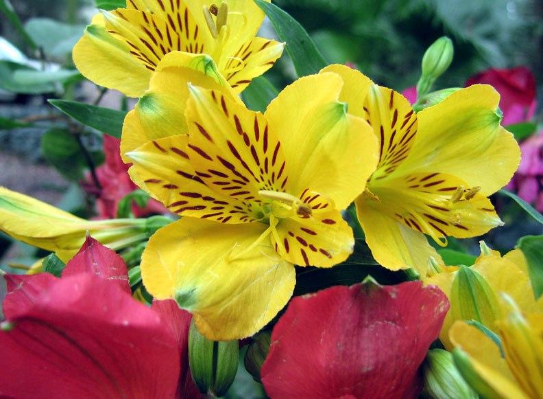 alstroemeria the lily of the incas kinds of ornamental plants. Black Bedroom Furniture Sets. Home Design Ideas