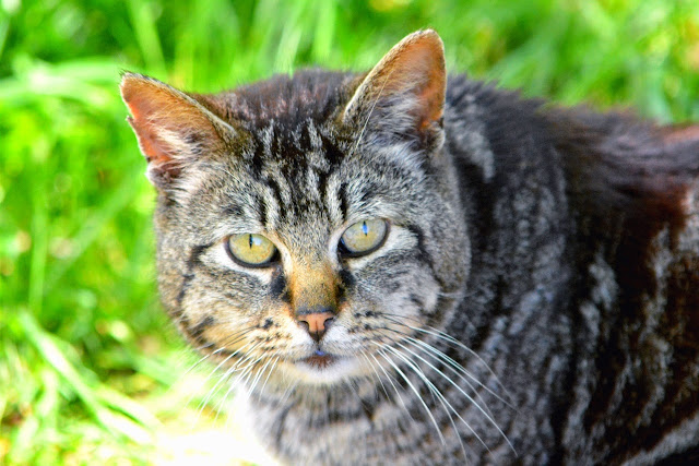 Old Tom Tabby face portrait