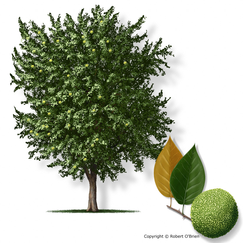 Why Osage Orange Trees Why Here Why Now Resilience