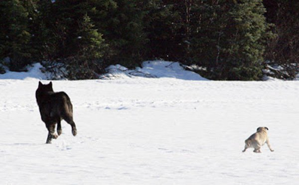 He Watched Helplessly As A Wild Wolf Approached His Dog. Then Something Incredible Happened. - The wolf stayed in the area, and in the years since, Nick has devoted much of his time to documenting him, naming him Romeo.
