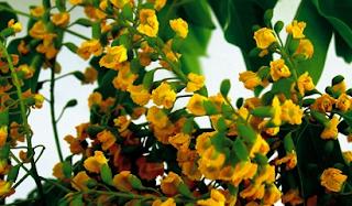 Bunga Nasional Myanmar